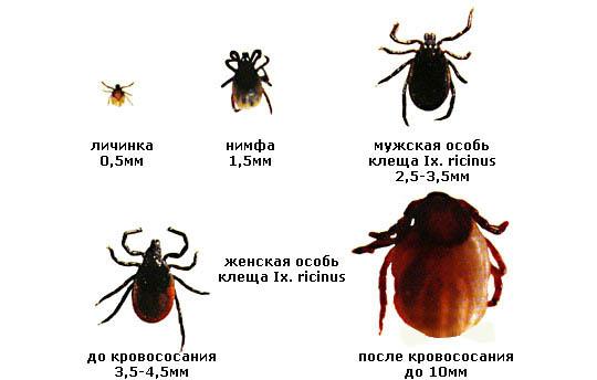 Размеры клещей