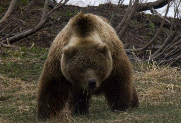 фото злые медведи